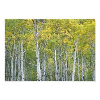コロラド州のMcClureのパスの秋の《植物》アスペン フォトプリント