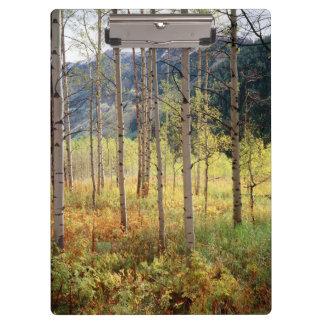 コロラド州、《植物》アスペンの木の秋色 クリップボード