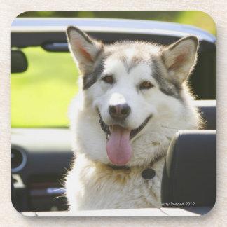コンバーチブルからのハスキーな犬 コースター