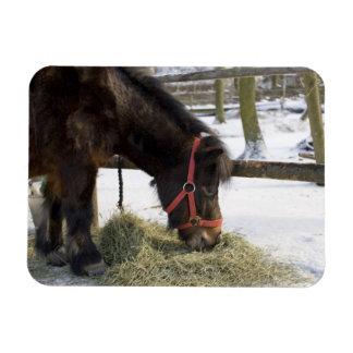 ゴトランドからの最初に原産の馬 マグネット