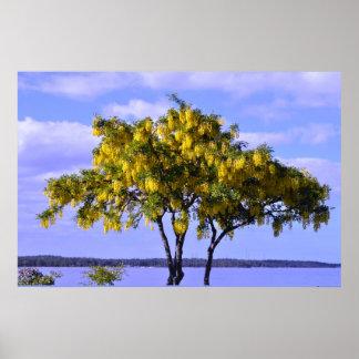 ゴトランドスウェーデンのバルト海の黄色の花の木 ポスター