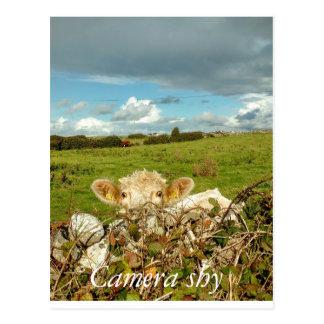 ゴールウェイアイルランドのカメラの内気な牛 ポストカード