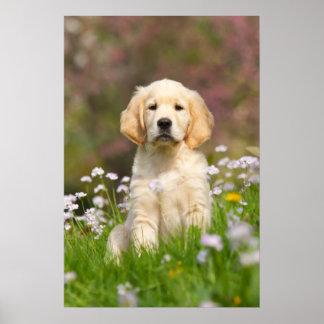 ゴールデン・リトリーバーの子犬かわいいGoldie ポスター