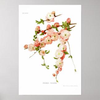 サクラ属のtriloba (花盛りのアーモンド) ポスター
