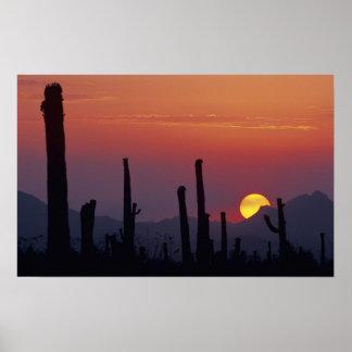 サグアロのサボテンのCarnegieaのgigantea)、日没、 ポスター