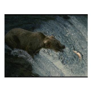 サケのための灰色グマの写真魚釣り ポストカード