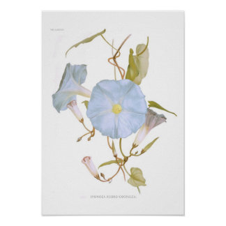 サツマイモ属のrubro-coerulea ポスター