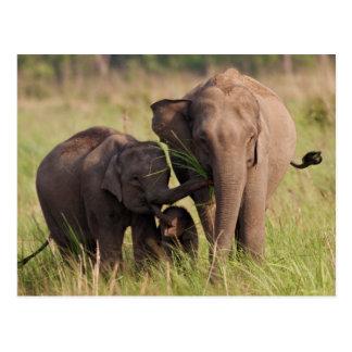 サバンナのインドのアジアゾウ家族 ポストカード