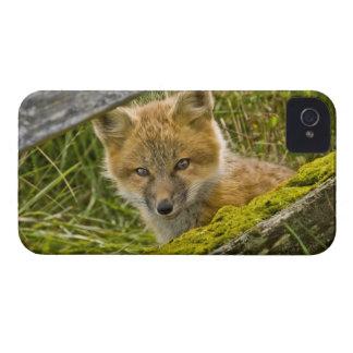サンファンのフェンス越しに見ている若いアカギツネ Case-Mate iPhone 4 ケース