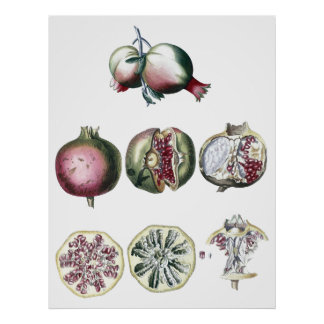 ザクロ植物のプリント ポスター