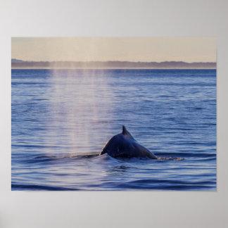 ザトウクジラの日没のサーファーの楽園 ポスター