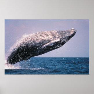 ザトウクジラの破ること ポスター