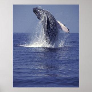 ザトウクジラの破ること(Megaptera ポスター