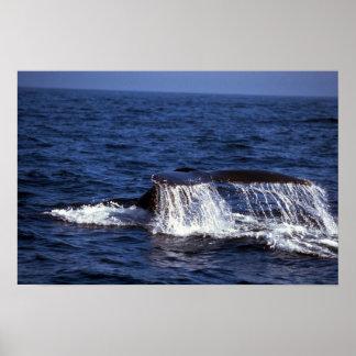 ザトウクジラの音響(尾肝蛭) ポスター