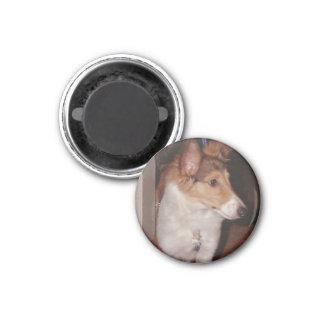 シェットランド・シープドッグの子犬の磁石 マグネット
