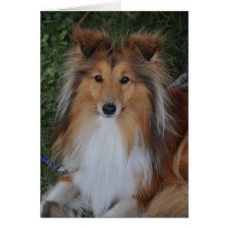 シェットランド・シープドッグの牧羊犬の挨拶状 カード