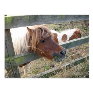 シェトランド諸島子馬の郵便はがき(5019) ポストカード
