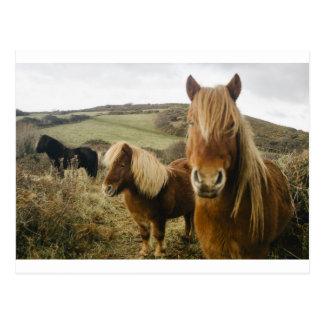 シェトランド諸島子馬の馬の子馬の馬分野 ポストカード