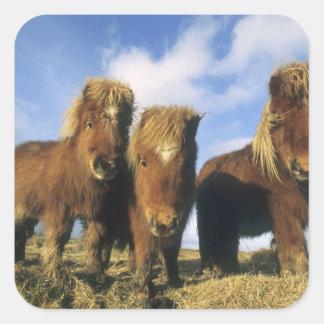 シェトランド諸島子馬、本土のシェトランド諸島島、 スクエアシール