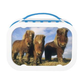 シェトランド諸島子馬、本土のシェトランド諸島島、 ランチボックス