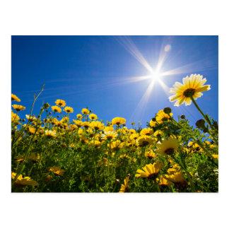 シシリー-完全な日光の郵便はがきの黄色いデイジー ポストカード