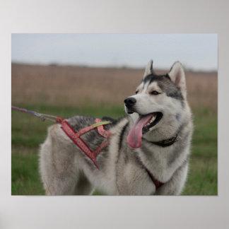 シベリアンハスキーのそり犬 ポスター