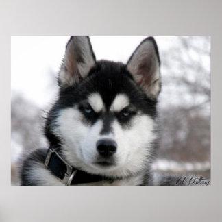 シベリアンハスキーの子犬ポスター ポスター
