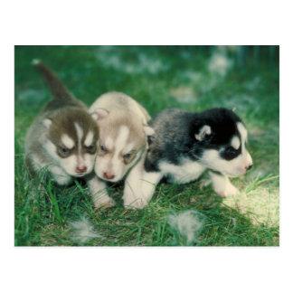 シベリアンハスキーの子犬 ポストカード