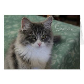 シベリア猫の挨拶状(一般目的) カード