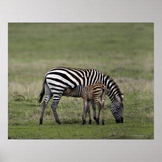 シマウマおよび看護の子馬、タンザニア ポスター