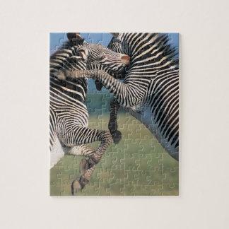 シマウマの戦い(Equusのburchelli) ジグソーパズル