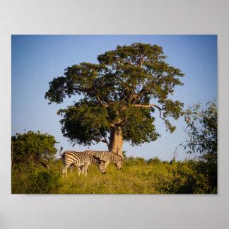 シマウマ、ボツワナ、アフリカのポスター ポスター