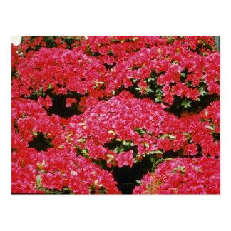 シャクナゲのツツジの花 ポストカード