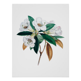 シャクナゲの植物のプリント ポスター