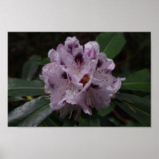 シャクナゲの花ポスター ポスター