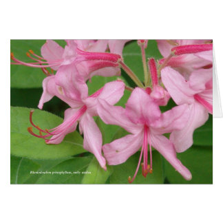 シャクナゲのprinophyllum、早いツツジ カード