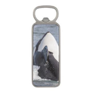 シャチのクジラの破ること マグネット栓抜き