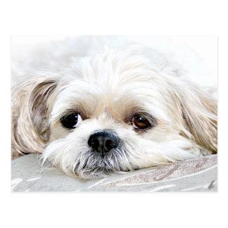 シーズー(犬)のTzuの失敗郵便はがき ポストカード