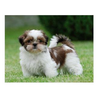 シーズー(犬)のtzuの子犬 ポストカード