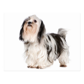 シーズー(犬)のTzuの小犬-こんにちは、あなたの考えること、愛 ポストカード