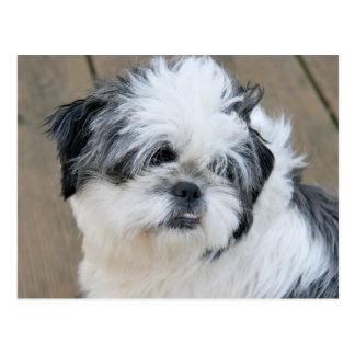 シーズー(犬)のtzuの顔 ポストカード