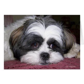シーズー(犬)のTzu犬 カード