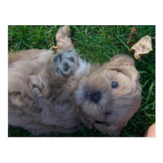シーズー(犬)tzuのプードル ポストカード