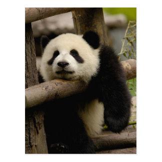 ジャイアントパンダのベビーのAiluropodaのmelanoleuca) ポストカード
