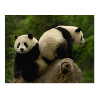 ジャイアントパンダのベビーのAiluropodaのmelanoleuca) 10 ポストカード