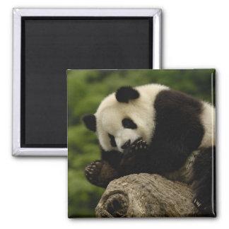 ジャイアントパンダのベビーのAiluropodaのmelanoleuca) 12 マグネット