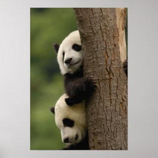 ジャイアントパンダのベビーのAiluropodaのmelanoleuca) 2 ポスター