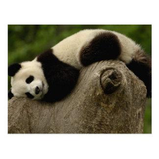 ジャイアントパンダのベビーのAiluropodaのmelanoleuca) 3 ポストカード