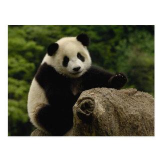ジャイアントパンダのベビーのAiluropodaのmelanoleuca) 6 ポストカード