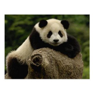 ジャイアントパンダのベビーのAiluropodaのmelanoleuca) 7 ポストカード